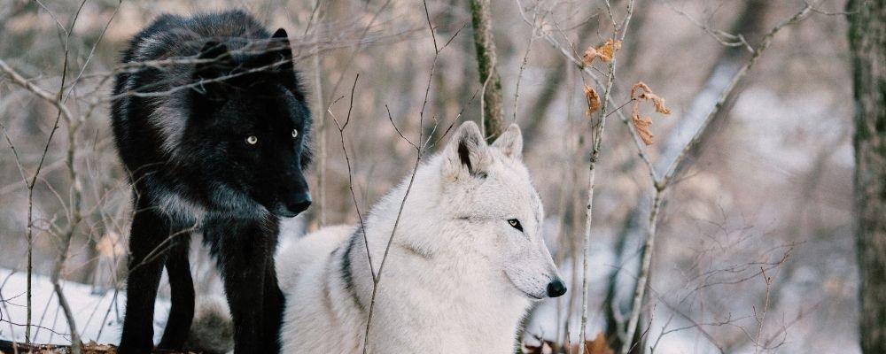 Witte en zwarte wolf